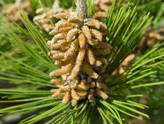 Pine as Food