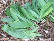 Foraging, Storing and Eating Ramps
