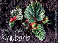 How to Divide Rhubarb