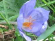 Saffron Harvest found on PunkDomestics.com