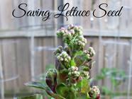 Saving Lettuce Seed found on PunkDomestics.com
