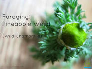 Foraging: Pineapple Weed (Wild Chamomile) found on PunkDomestics.com