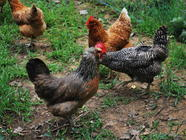 {Backyard Chickens} For Love of One Good Egg found on PunkDomestics.com