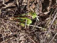 Fiddleheads found on PunkDomestics.com