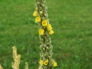 Mullein Tisane found on PunkDomestics.com