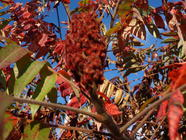 Staghorn Sumac: Is It Really Edible? found on PunkDomestics.com