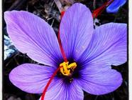Growing Saffron in Utah or Anywhere found on PunkDomestics.com