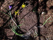 Early Spring Wild Edibles found on PunkDomestics.com
