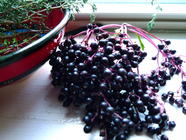 Elderberries:  Poor Man's (Woman's) Medicine found on PunkDomestics.com