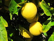 Meyer Lemon Marmalade found on PunkDomestics.com