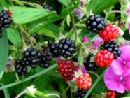 Blackberry Cordial & Blackberry Simple Syrup found on PunkDomestics.com