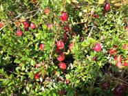 Foraging for Wild Cranberries found on PunkDomestics.com