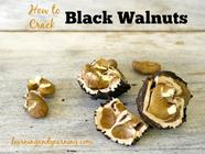 How to Harvest and Crack Black Walnuts found on PunkDomestics.com
