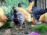 Ten Reasons to Keep Backyard Chickens found on PunkDomestics.com